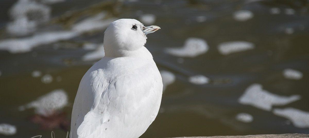 A Rare Ivory Gull Visits Flint
